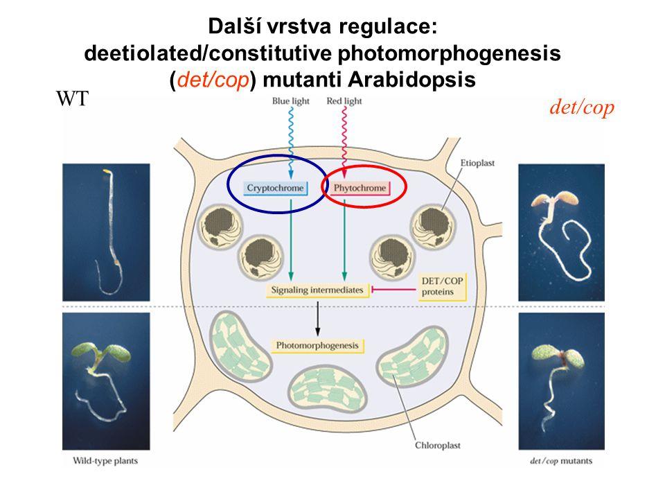 Další vrstva regulace: deetiolated/constitutive photomorphogenesis