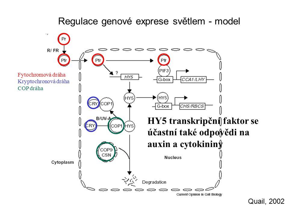 Regulace genové exprese světlem - model