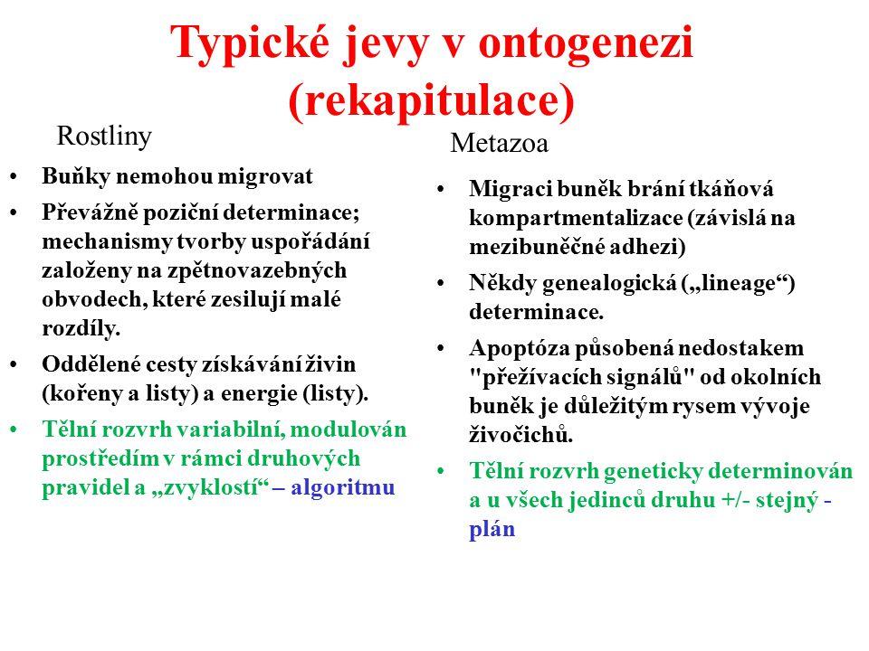 Typické jevy v ontogenezi (rekapitulace)
