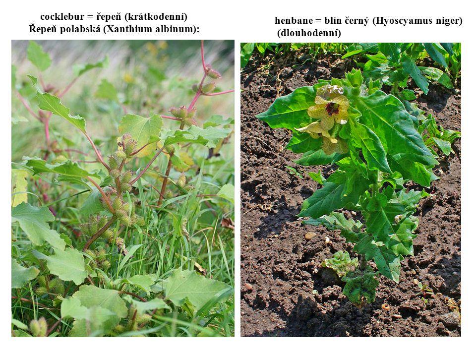 cocklebur = řepeň (krátkodenní) Řepeň polabská (Xanthium albinum):