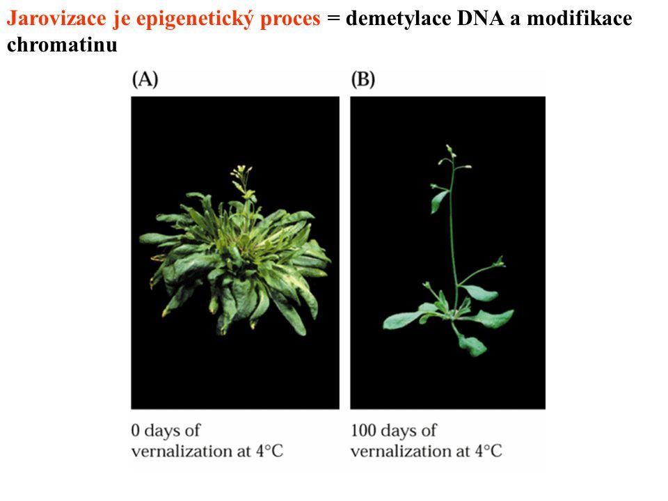 Jarovizace je epigenetický proces = demetylace DNA a modifikace