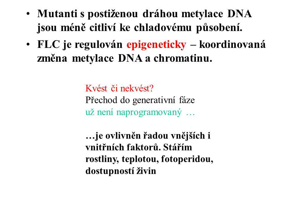 Mutanti s postiženou dráhou metylace DNA jsou méně citliví ke chladovému působení.