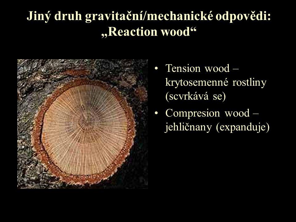 """Jiný druh gravitační/mechanické odpovědi: """"Reaction wood"""