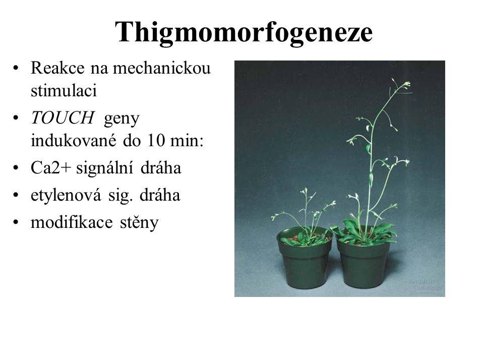 Thigmomorfogeneze Reakce na mechanickou stimulaci