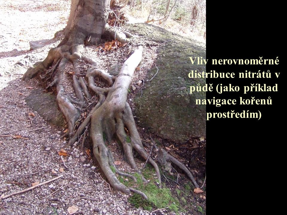 Vliv nerovnoměrné distribuce nitrátů v půdě (jako příklad navigace kořenů prostředím)