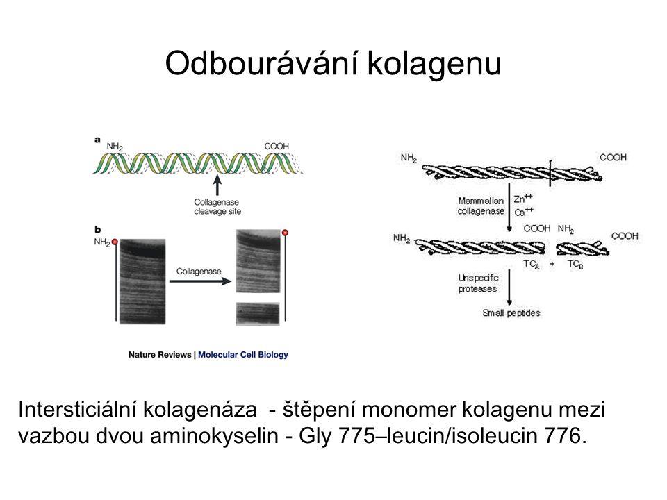 Odbourávání kolagenu Intersticiální kolagenáza - štěpení monomer kolagenu mezi vazbou dvou aminokyselin - Gly 775–leucin/isoleucin 776.