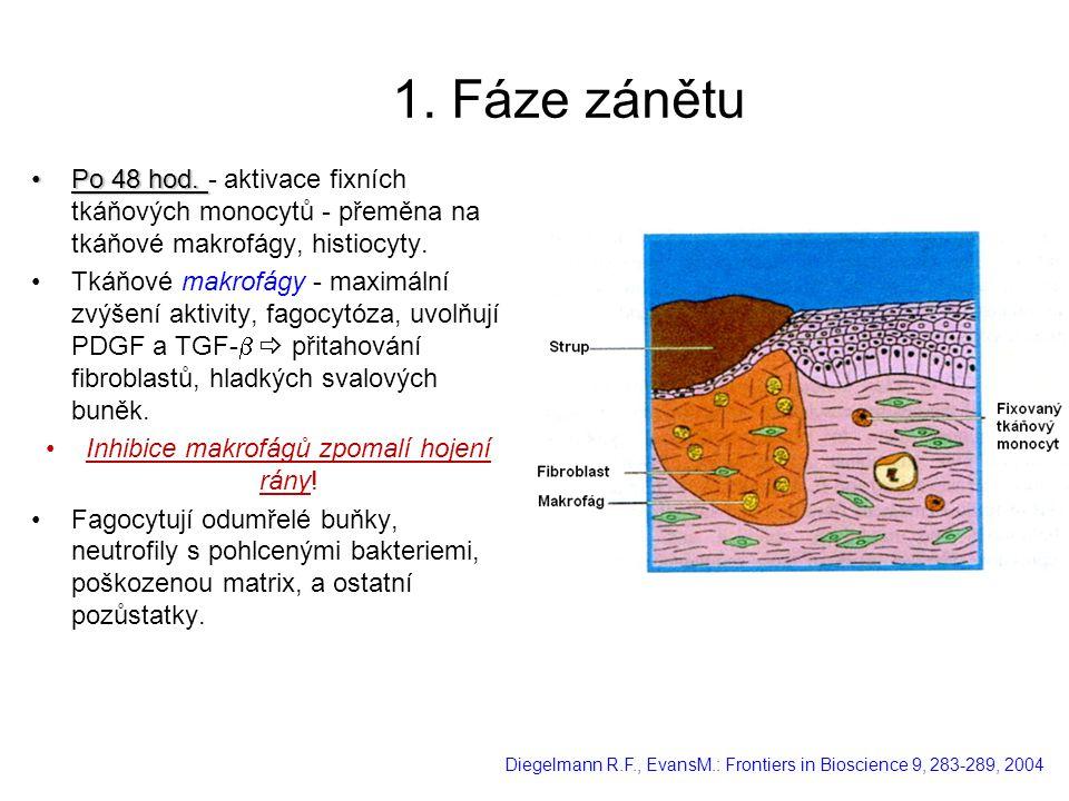 Inhibice makrofágů zpomalí hojení rány!
