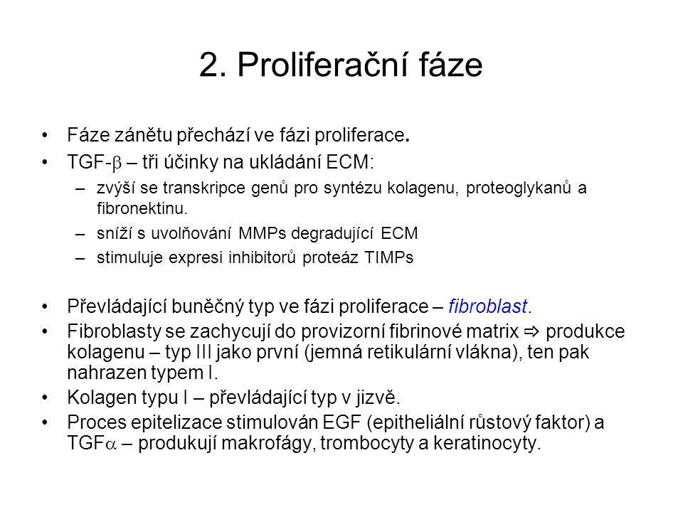 2. Proliferační fáze Fáze zánětu přechází ve fázi proliferace.