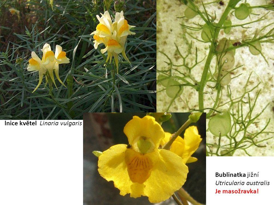 lnice květel Linaria vulgaris