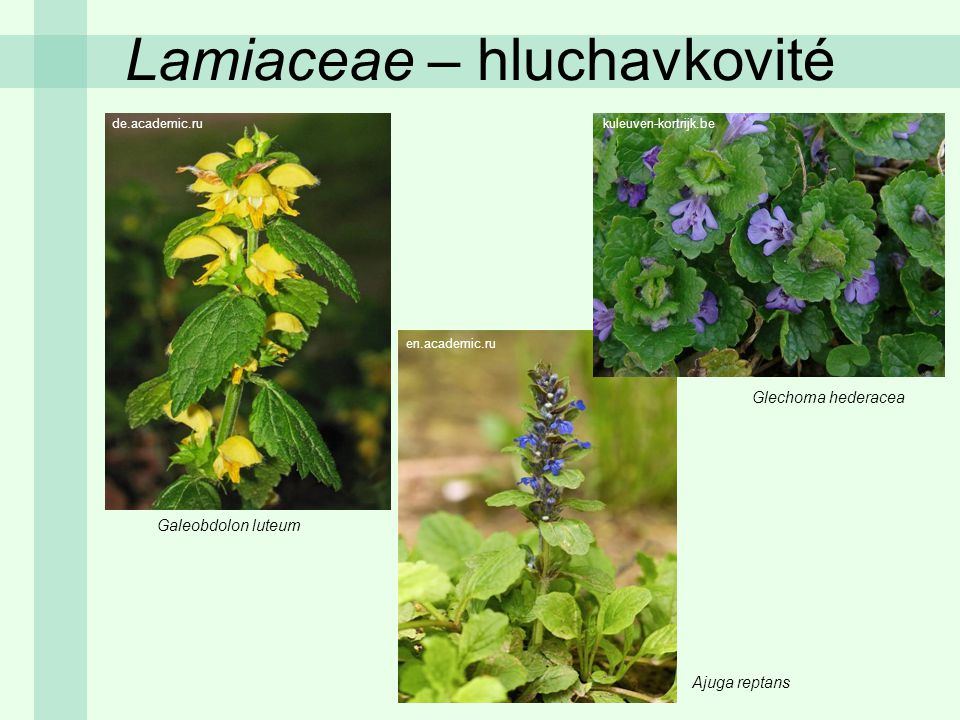 Lamiaceae – hluchavkovité