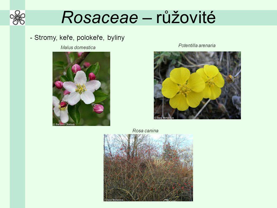 Rosaceae – růžovité - Stromy, keře, polokeře, byliny