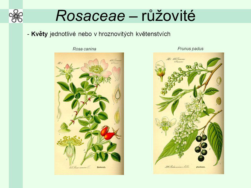 Rosaceae – růžovité Květy jednotlivé nebo v hroznovitých květenstvích