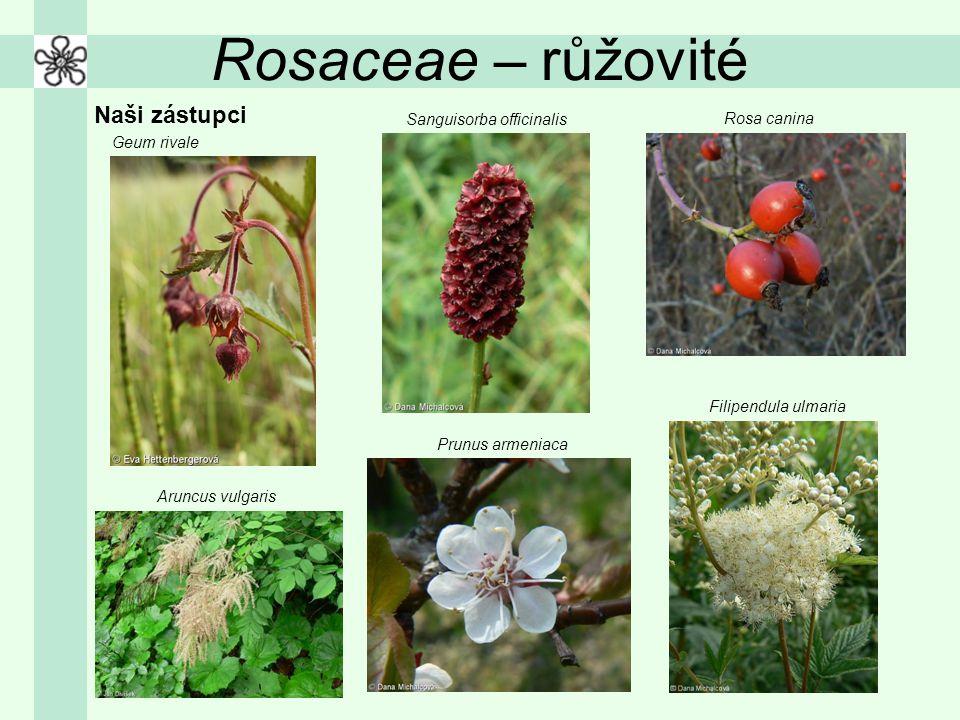 Rosaceae – růžovité Naši zástupci Sanguisorba officinalis Rosa canina