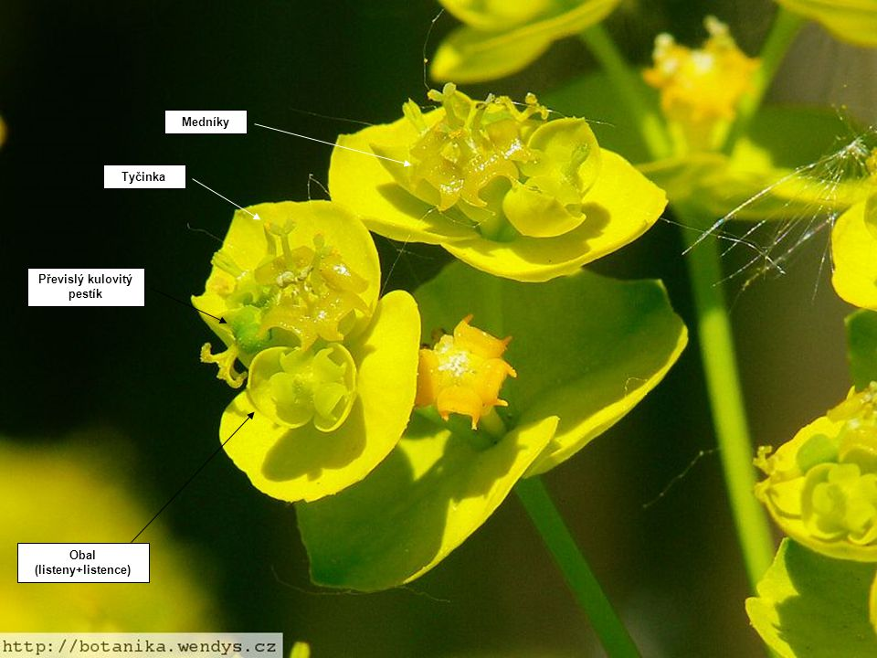 Převislý kulovitý pestík Obal (listeny+listence)