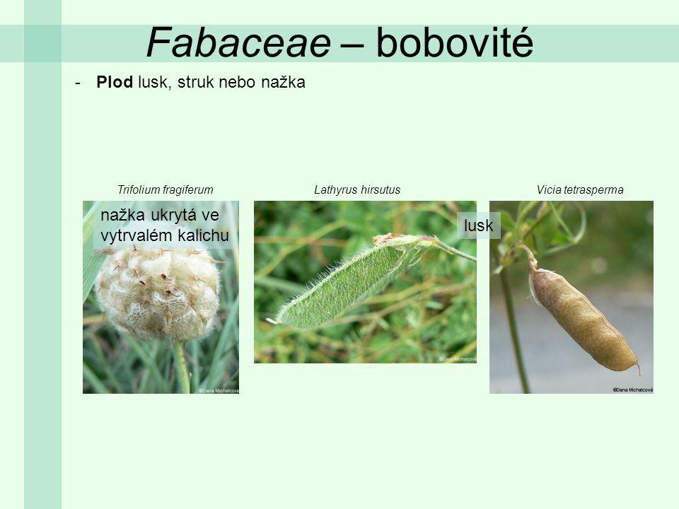 Fabaceae – bobovité Plod lusk, struk nebo nažka nažka ukrytá ve