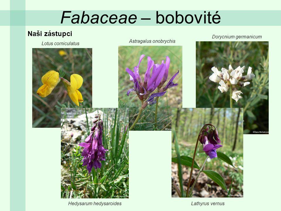 Fabaceae – bobovité Naši zástupci Dorycnium germanicum