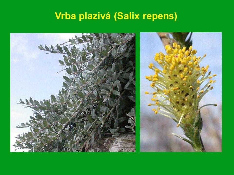 Vrba plazivá (Salix repens)