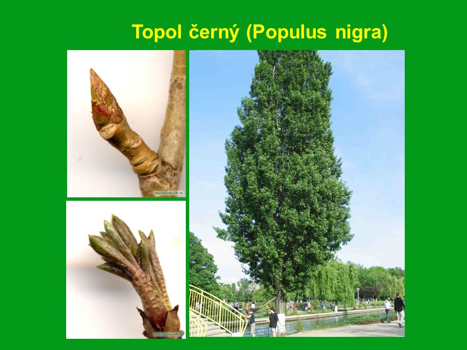 Topol černý (Populus nigra)