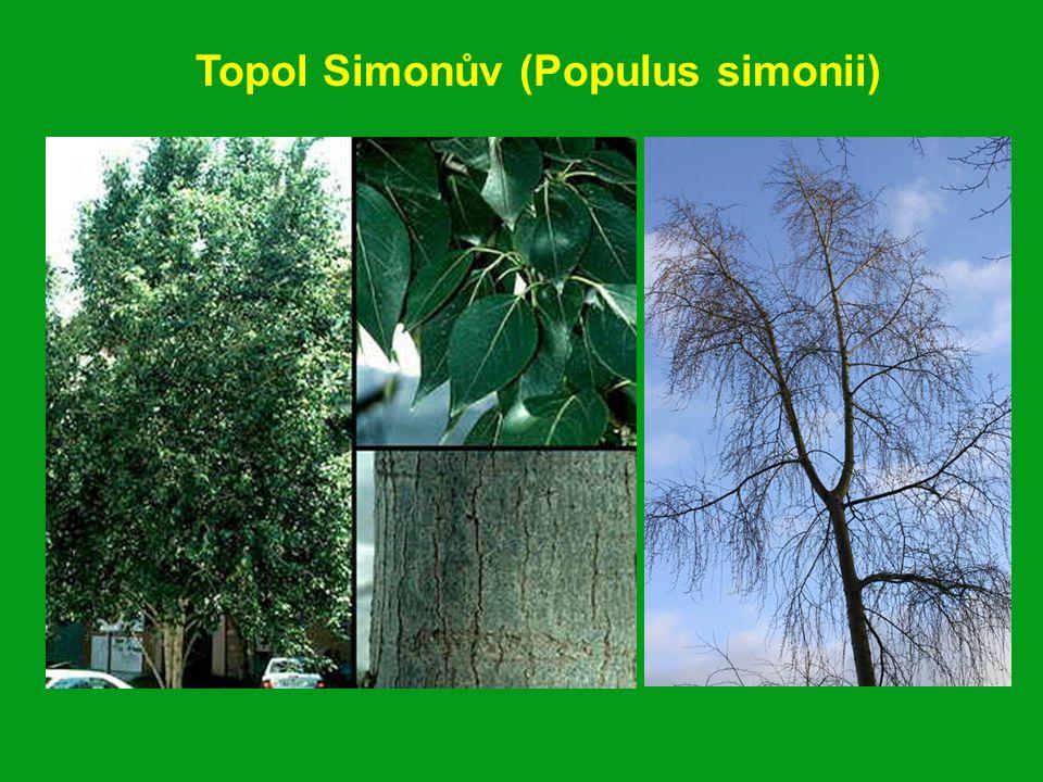 Topol Simonův (Populus simonii)