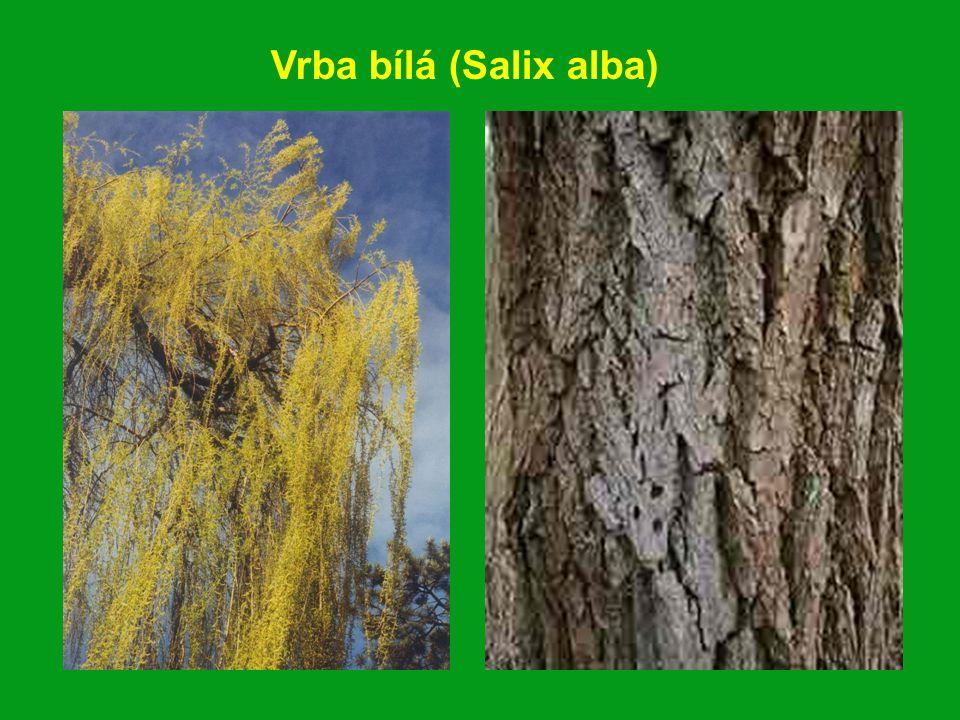 Vrba bílá (Salix alba)