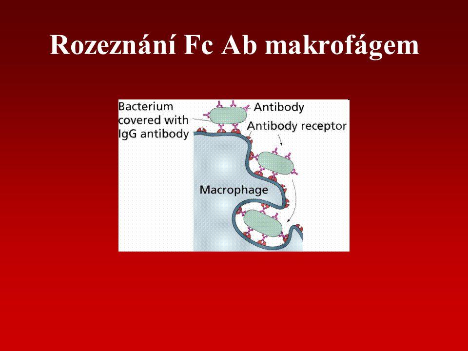 Rozeznání Fc Ab makrofágem