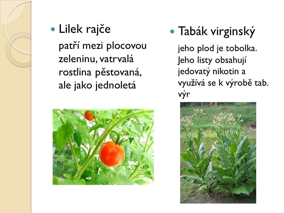 Lilek rajče Tabák virginský