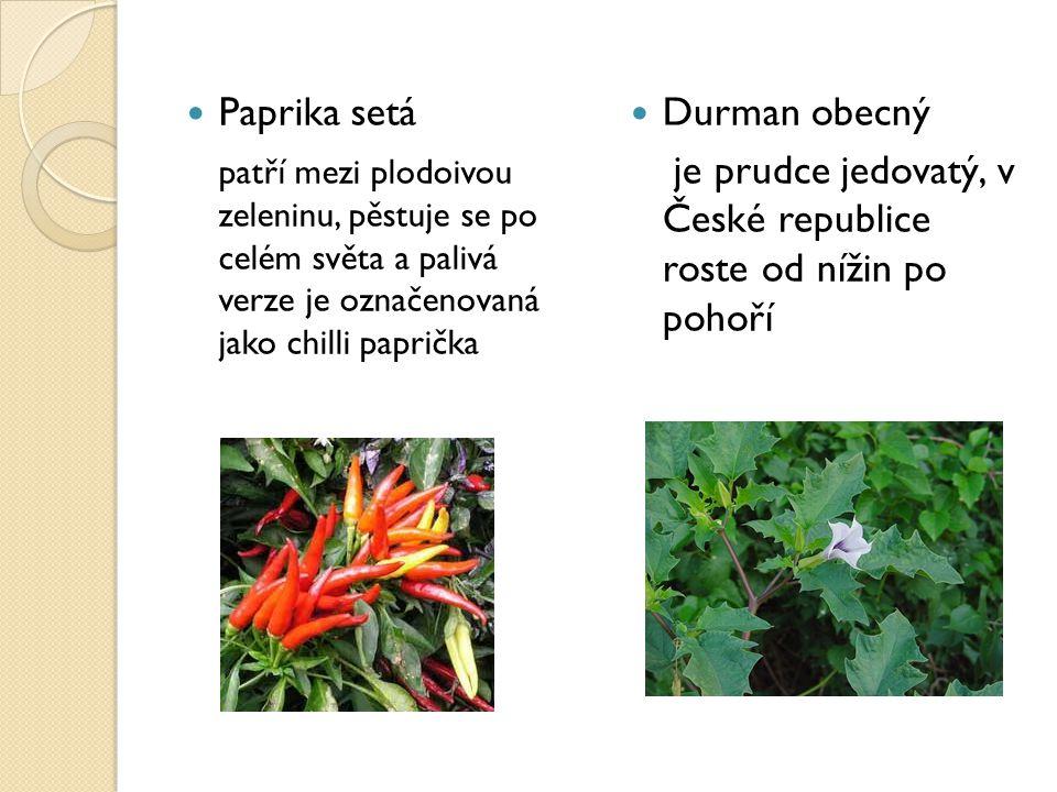 Paprika setá patří mezi plodoivou zeleninu, pěstuje se po celém světa a palivá verze je označenovaná jako chilli paprička.