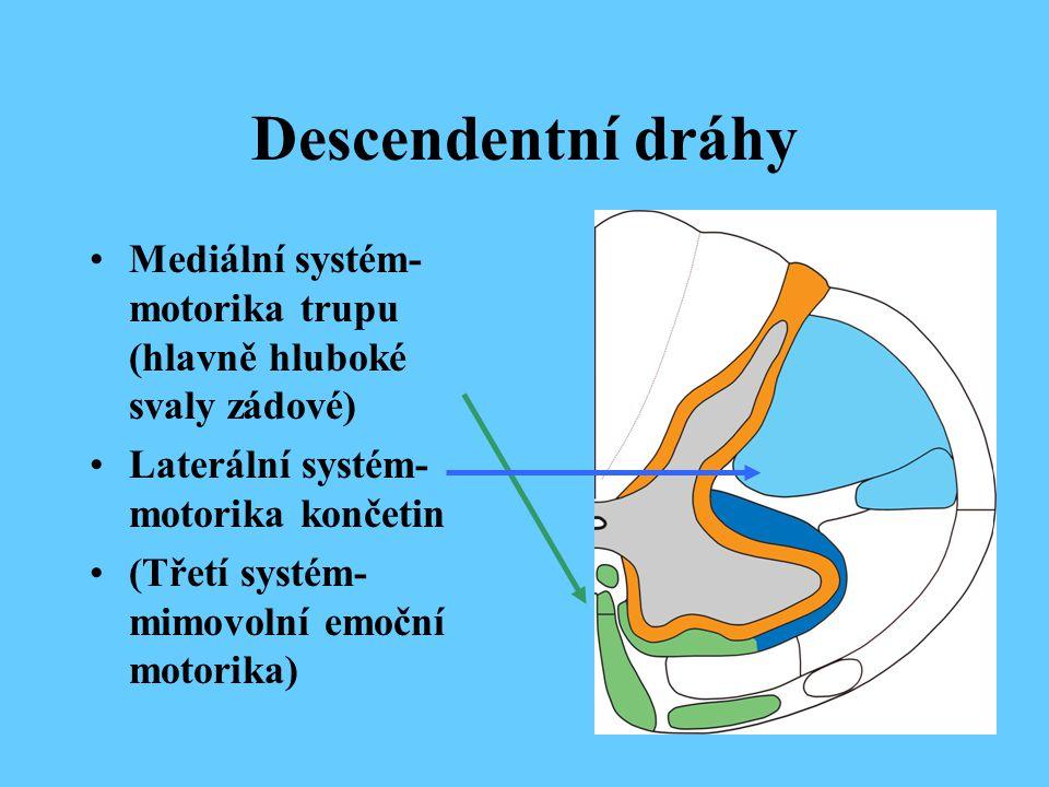 Descendentní dráhy Mediální systém- motorika trupu (hlavně hluboké svaly zádové) Laterální systém- motorika končetin.