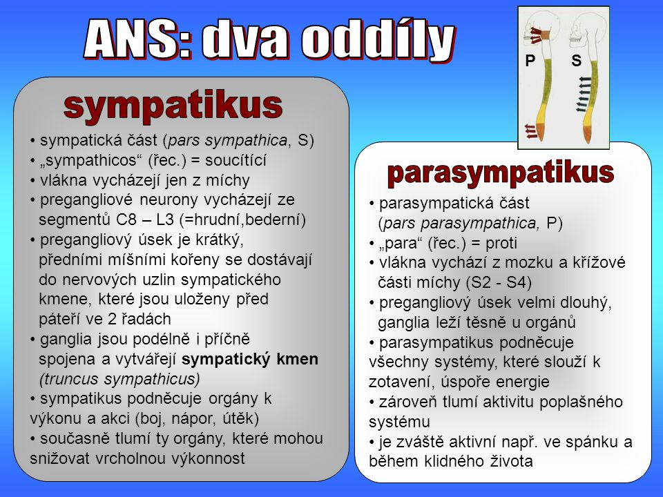ANS: dva oddíly sympatikus parasympatikus P S