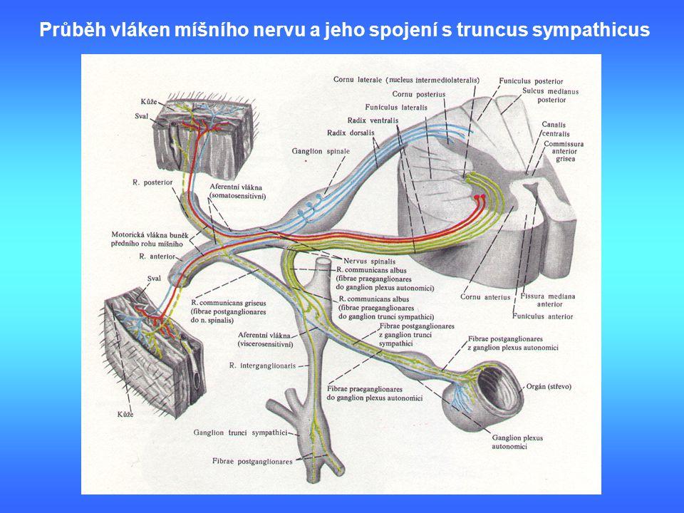 Průběh vláken míšního nervu a jeho spojení s truncus sympathicus