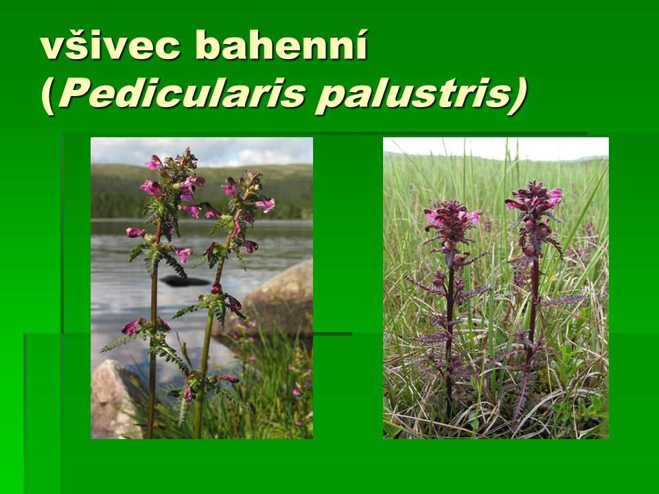 všivec bahenní (Pedicularis palustris)