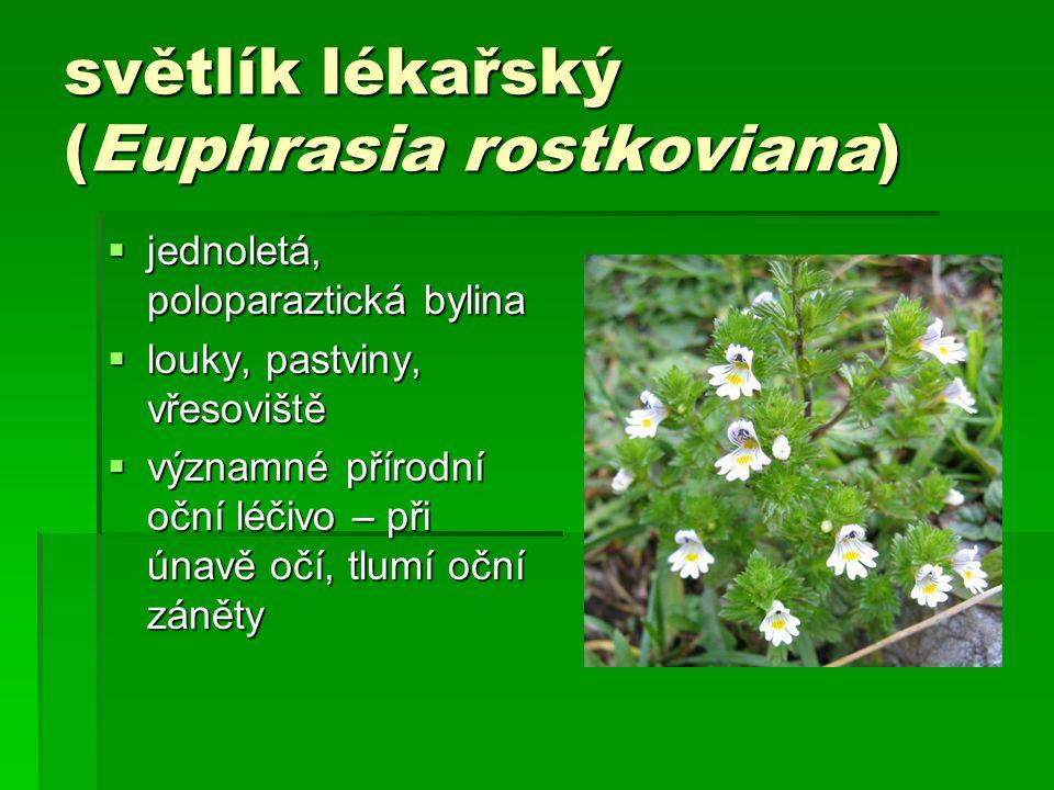 světlík lékařský (Euphrasia rostkoviana)