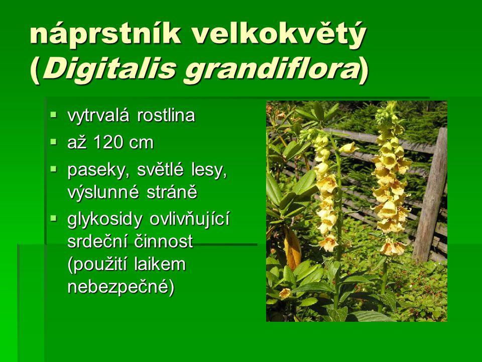 náprstník velkokvětý (Digitalis grandiflora)