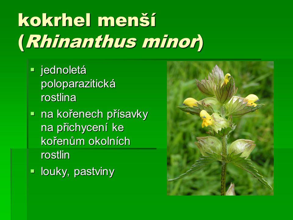 kokrhel menší (Rhinanthus minor)