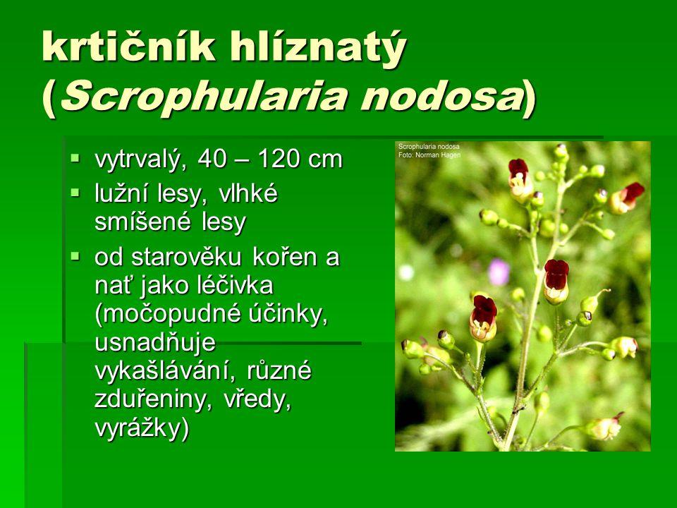 krtičník hlíznatý (Scrophularia nodosa)