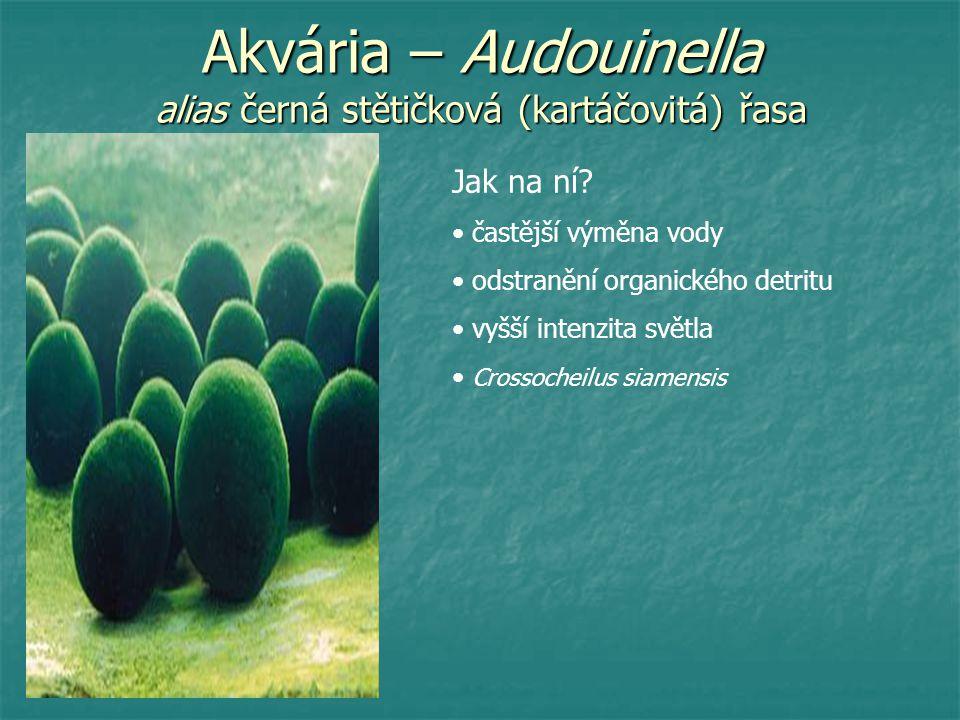 Akvária – Audouinella alias černá stětičková (kartáčovitá) řasa