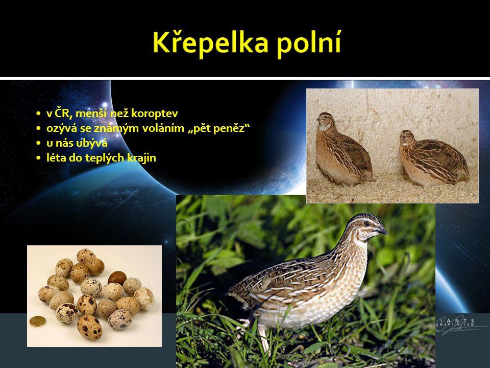 Křepelka polní • v ČR, menší než koroptev