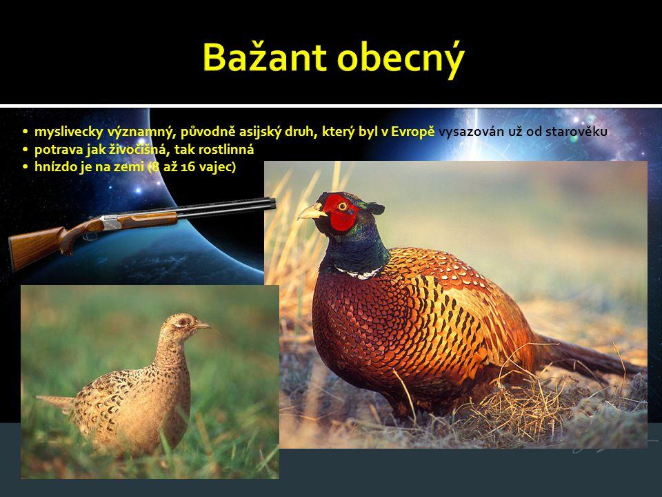 Bažant obecný • myslivecky významný, původně asijský druh, který byl v Evropě vysazován už od starověku.