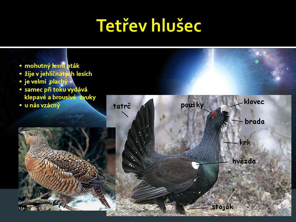 Tetřev hlušec • mohutný lesní pták • žije v jehličnatých lesích