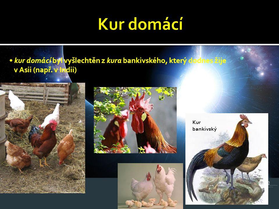 Kur domácí • kur domácí byl vyšlechtěn z kura bankivského, který dodnes žije. v Asii (např. v Indii)