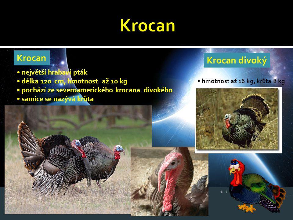 Krocan Krocan Krocan divoký • největší hrabaví pták