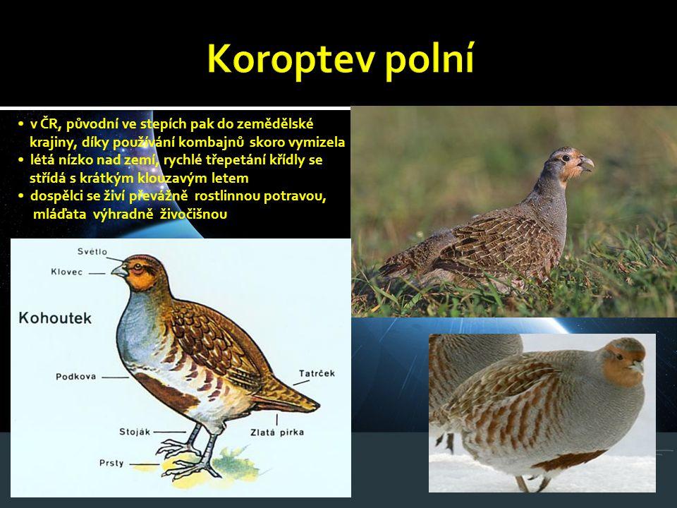 Koroptev polní • v ČR, původní ve stepích pak do zemědělské