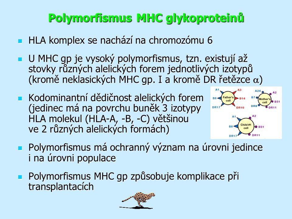 Polymorfismus MHC glykoproteinů