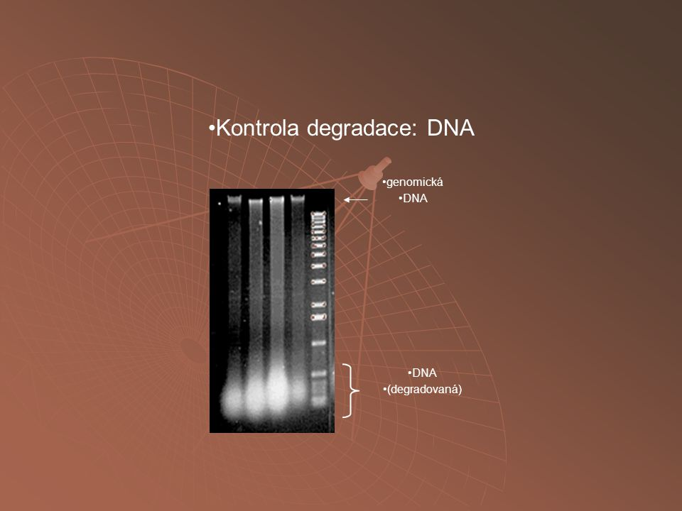Kontrola degradace: DNA