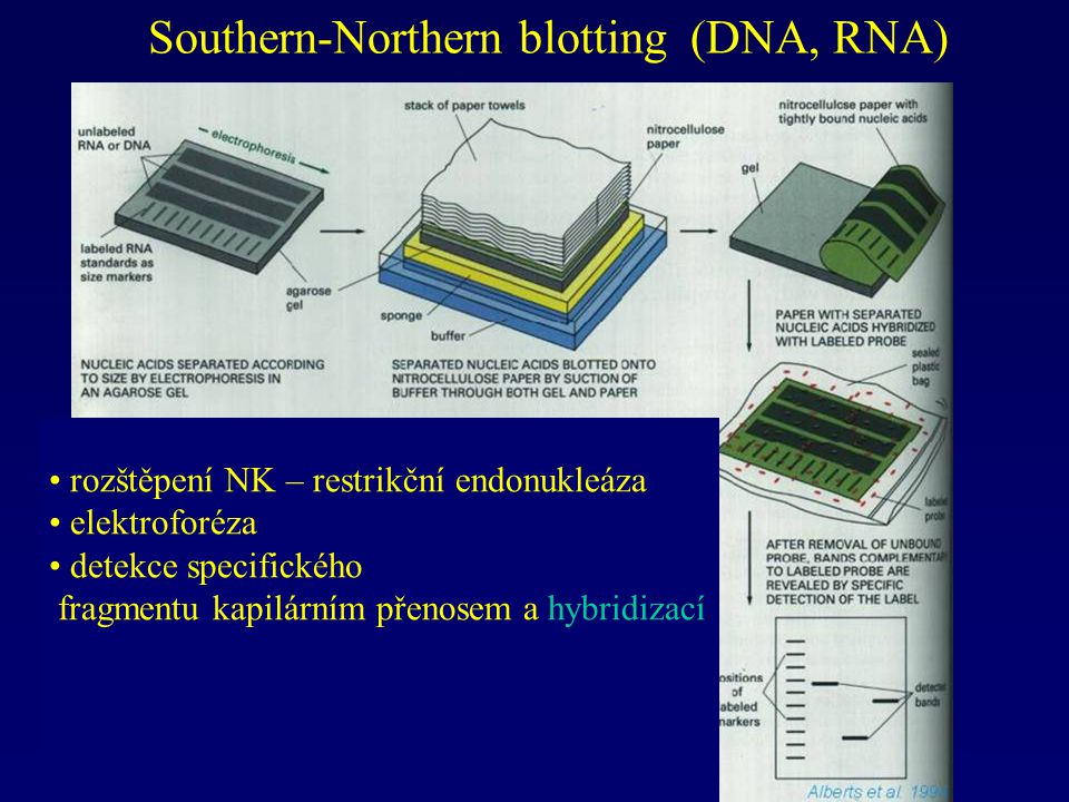 Southern-Northern blotting (DNA, RNA)