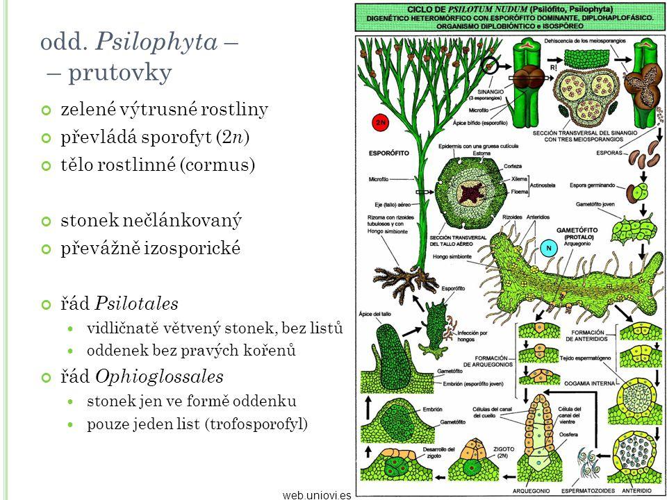 odd. Psilophyta – – prutovky