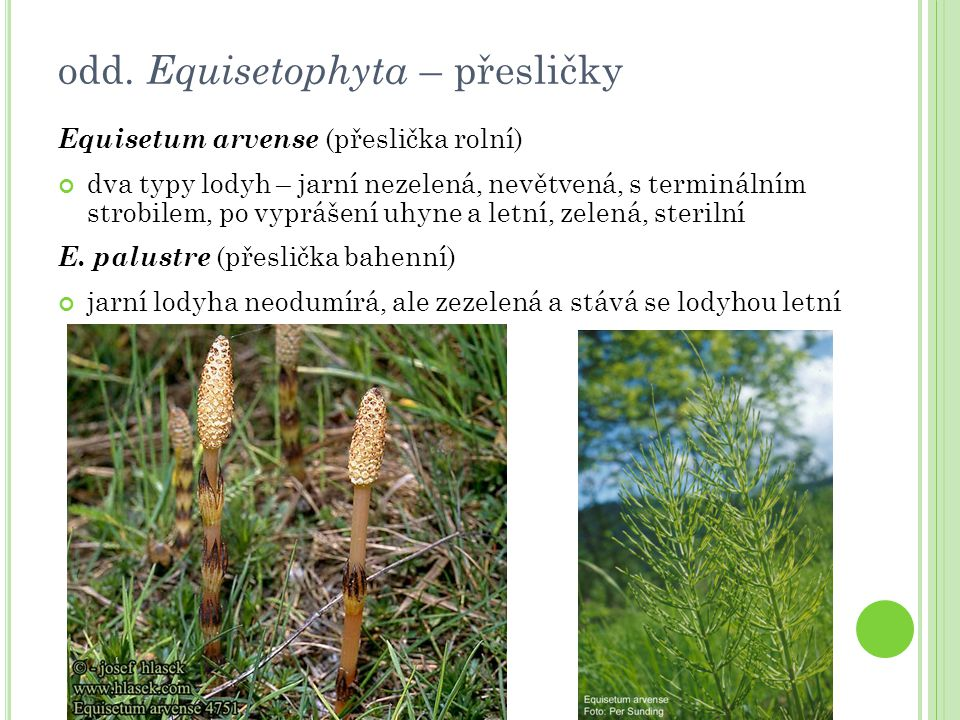 odd. Equisetophyta – přesličky