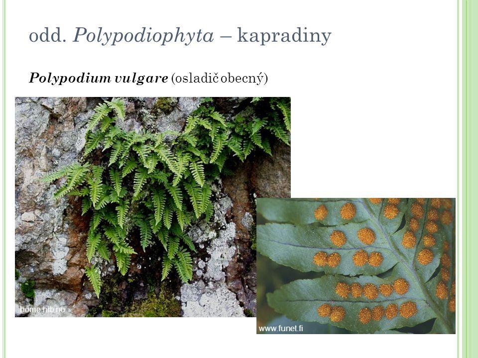 odd. Polypodiophyta – kapradiny