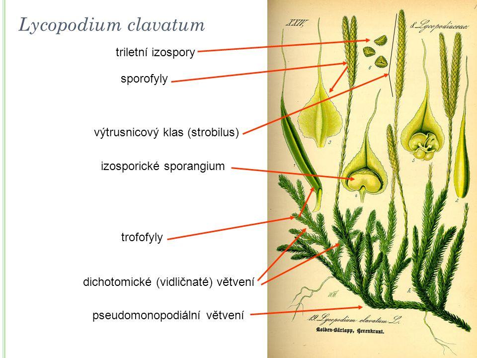 Lycopodium clavatum triletní izospory sporofyly