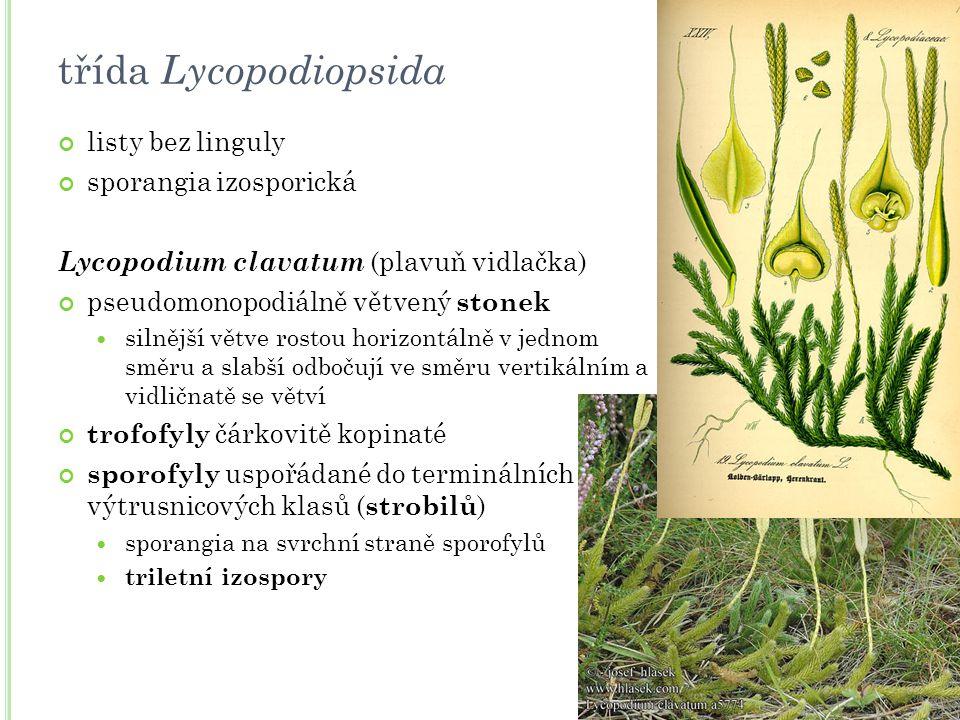 třída Lycopodiopsida listy bez linguly sporangia izosporická